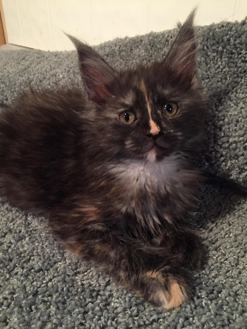Maine Coon Kittens For Sale From Koontucky Maine Coon Cats Michigan Usa