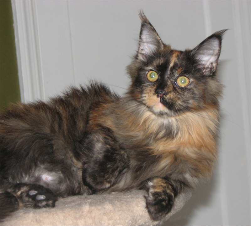 Maine Coon Kittens For Sale From Koontucky Maine Coon Cats
